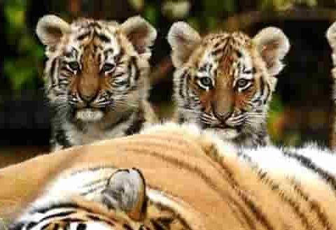 casting tigers